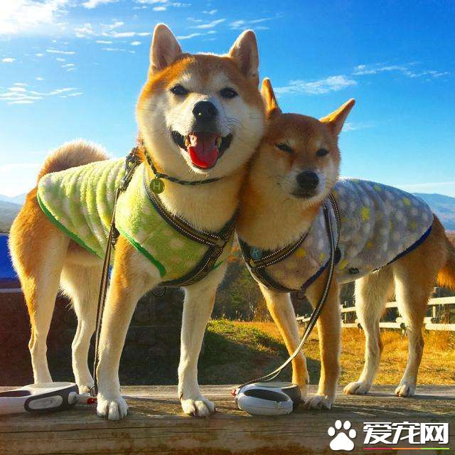 Shiba Inu doesn't stand the ear. Have you learnt the 2 explanation why Shiba Inu doesn't stand?